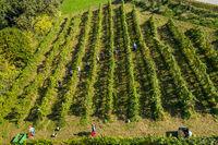 Harvesting grapevine in vineyard, aerial view of winery estate in Europe