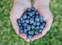 Blueberries in  womans hands.