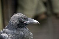 Portrait of a Tame Carrion Crow (Corvus corone corone)