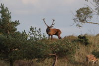 Redd Deer on the darss, mecklenburg  pomerania, Germany