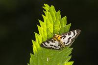 Small magpie (Anania hortulata)