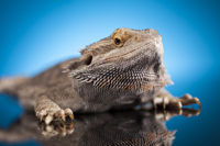Blue background, Pet, lizard Bearded Dragon