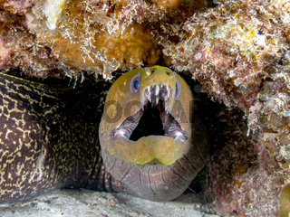 Marmor-Mureane (Gymnothorax undulatus)