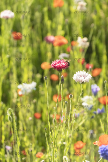 Cornflowers (Cyanus segetum)