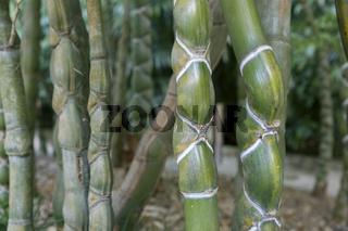 Schildkrötenbambus (Phyllostachys heterocycla)