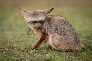 Bat-eared fox sits on grass looking down