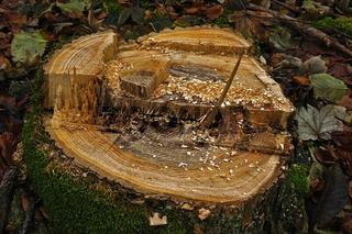 Baumfällung: Baumstumpf nach vorschriftsmäßiger Fällung