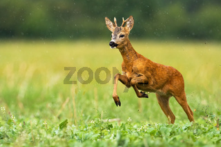 Young roe deer running through the summer raindrops