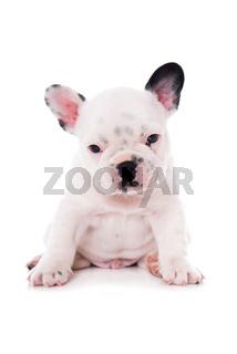 Französischer Bulldoggenwelpe isoliert auf weißem Grund