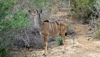 Kudu female with Red-billed Oxpeckers