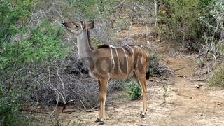 Kudu Weibchen mit Rotschnabel-Madenhackern