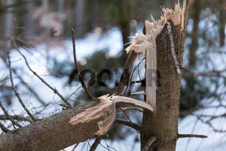 schadhaftes Holz aufgrund geknickter Bäume - Schneelast und Sturmschaden