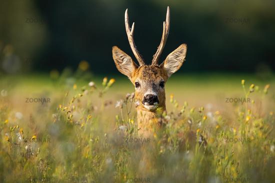 Adult roe deer buck with long antlers hidden in grass with wildflowers looking