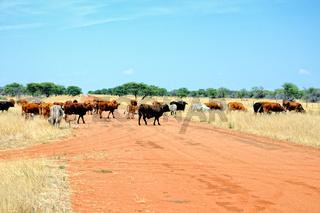 Viehtrieb auf der Strasse in Namibia