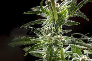 A close-up of flowering cannabis buds with stigmas and trichomes before harvest, macro shot on a black bakground