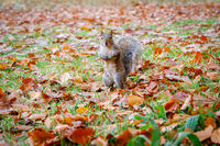Squirrel Out Looking for Food in Autumn