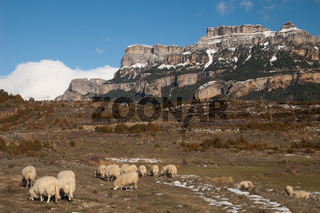 Sheep (Ovis aries) grazing in Vio and the Sestrales (Ordesa and Monte Perdido National Park) in the background. Pyrenees. Huesca. Aragon. Spain.