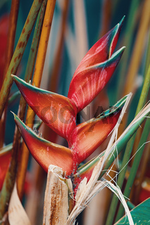 heliconia flower Amber Mountain, Madagascar