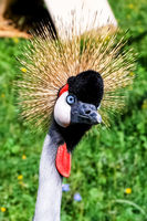 Crowned crane, birds head and neck.