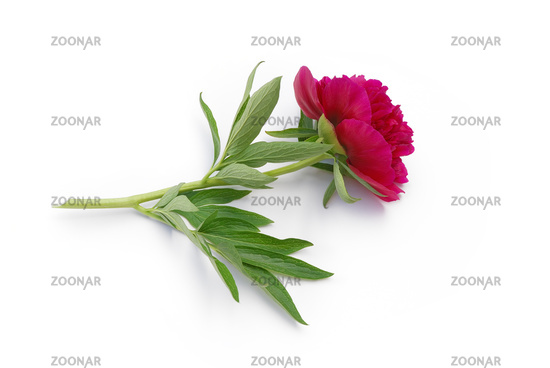 Peony lies on white background