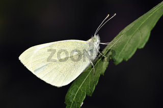 Pieris rapae common name small white one of the butterflies known as the cabbage white