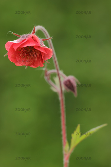 Drooping avens (Geum rivale)