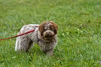 Young truffle dog of the Lagotti Romagnolo breed, Bonvillars truffle market, Switzerland