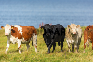 Flock of cows in the meadow at the beach