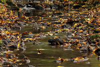 Stream with stones and autumn foliage