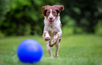 Young Springer Spaniel having fun chasing a blue ball across the lawn