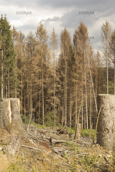 spruce dieback, forest dying, spruce dieback, forest dying