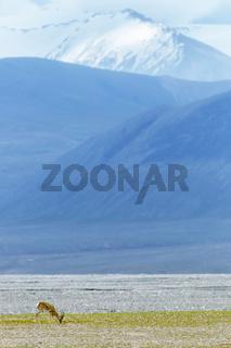 tibetan gazelle on plateau