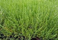 Queller; Europaeischer; Salicornia; europaea