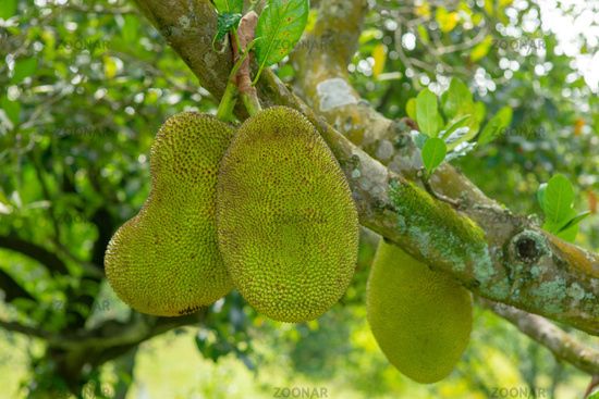 Jack fruits tree.