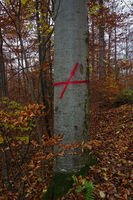 Colour marking on a red beech tree showing a logging trail