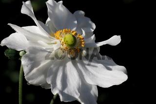 Anemone japonica Whirlwind