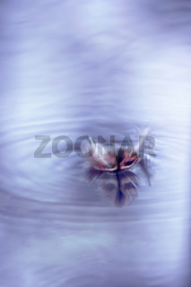 lonely floating feather on purple water