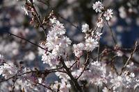 Prunus subhirtella Autumnalis, Pink Autumn Cherry