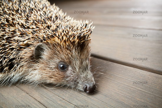 Young hedgehog in natural habitat