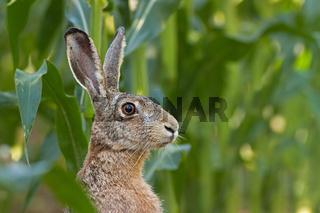 Alert European brown Hare, Lepus europaeus