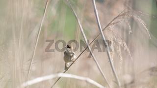 Teichrohrsänger Acrocephalus scirpaceus