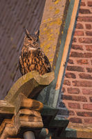 Eurasian Eagle Owl * Bubo bubo *, adult male, sitting, perched on roof of an old church