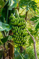 Bunch of raw bananas