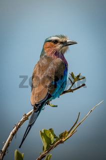 Lilac-breasted roller with catchlight on leafy branch