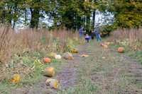 Pumpkins on The Ground at a Pumpkin Farm