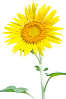 A sunflower in White background