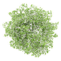 top view of flowering lemon tree isolated on white background