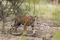 Young male tiger walking, Ranthambhore National Park, Rajasthan, India
