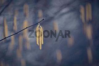 lonely branch with seeds in stingy winter ambience