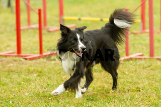 A young border collie dog learns skills in agility training.